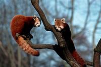 Red, Pandas, pair, Ailurus, fulgens