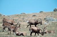 Spanish, Ibex, males, Sierra, de, Gredos, Spain, Capra, pyrenaica, victoriae