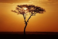 Acacia, at, sunset, Amboseli, national, park, Kenya, , Acacia, spec