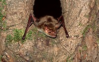 Greater, Mouse-eared, Bat, coming, out, of, tree, hole, Rhineland-Palatinate, Germany, Myotis, myotis