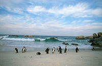 African Jackass Penguin Spheniscus demersus Colony on the Beach  Boulders Beach, Western Cape Province, South Africa