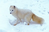 Arctic Fox,Alopex lagopus,Montana,USA,adult in snow