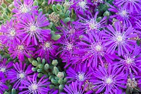 Tight Clump of Purple Mesembryanthemum Drosanthemum hispidium Flowers  Steytlerville, Karoo, Western Cape Province, South Africa