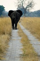 Rear View of Elephant Loxodonta africana on Dirt Road  Mudumu National Park, Eastern Caprivi, Namibia, Africa