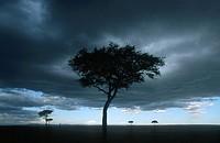 Trees on the Masai Mara Savanah at Dusk  Masai Mara Reserve, Kenya, Africa
