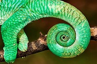 Close-up of Parson's Chameleon Tail  Madagascar