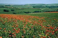 Field of Red Poppy Flowers in Long Grass  South Downs, Sussex, England, United Kingdom