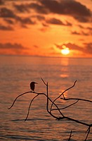 Green-backed Heron Butorides striatus Silhouetted at Dusk  Seychelles