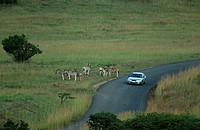 Long Shot of a Burchell´s Zebra Equus burchellii Herd on the Side of the Road with a Car Passing By  Itala Game Reserve, Northern Natal, KwaZulu Natal...