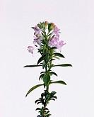 Satureia montana, Savory - Winter savory