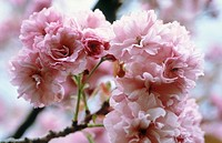 Prunus ´Kanzan´, Cherry
