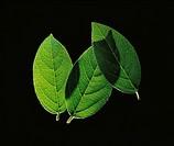 Viburnum - variety not identified, Viburnum