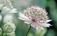 Astrantia major, Astrantia / Masterwort