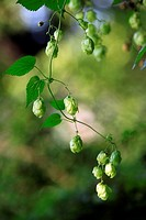 Hops,Humulus lupulus,Germany,blooming catkin