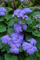Flossflower,Ageratum houstonianum,Germany,blooming flower