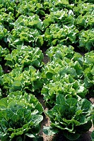 Head Lettuce,Latuca sativa var Capitata,Germany,field,plantation,leaf,leaves,salad
