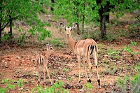 Impala,Aepyceros melampus,Kruger National Park,South Africa,adult female with young