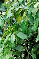 Pepper,Piper Nigrum,Singapore,Asia,fruit
