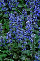 Carpet bugle,Ajuga reptans,Germany,bloom