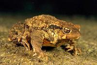 Common Toad (Bufo bufo). Galicia, Spain