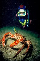 Diver and Great Spider Crab (Maja squinado). Galicia, Spain