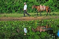 Pantanal Cowboy,Pantaneiro,Horse,Pantaneiro Horse,Pantanal,Brazil,horse guiding
