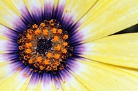 A closeup of an osteospermum flower