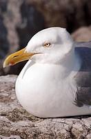 A closeup of a glaucous gull (Larus hyperboreus).