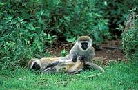 Vervet Monkey,Grivet Monkey,Cercopithecus aethiops,Ngorongoro Crater,Tanzania,Africa,adults,grooming