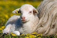 Domestic Sheep with Lamb (Ovis aries). Schleswig-Holstein, Germany