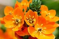 African star flower
