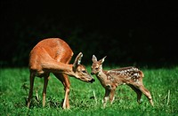 roe deer with fawn on meadow / capreolus capreolus