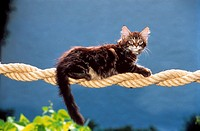 young Maine Coon on a rope