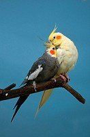 nymphicus hollandicus / cockatiel
