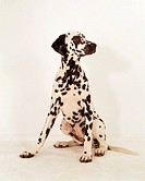 Dalmation sitting frontal