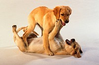 two young Golden Retriever - playing