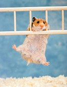 common hamster / cricetus cricetus