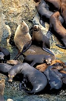Californian Sea Lion,Zalophus californianus,California,USA,group on rock in water