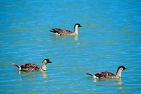 Hawaii, Nene Geese Nesochen sandvicensis floating on water