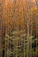 Woodland tree trunks and dogwood in evening light. Great Smoky Mountains National Park, Tennessee, Appalachian, USA