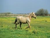 equus spp  / horse
