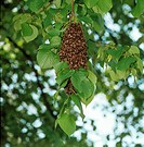 Apis mellifera / honey bees - swarm in a lime tree