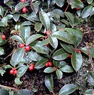 Gaultheria procumbens  Winter Green close up foliage and berries AZ Botanical