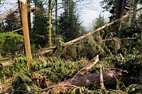 Storm damaged forest  Fallen trees in Stanley Park, Vancouver, Canada  This damage was caused by a mid-latitude cyclone that struck the park on 15 Dec...