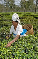 Tea picker at a tea plantation in Kaziranga, Assam, India  Woman gathering leaves from tea plants Camellia sinensis var  assamica  India is the larges...