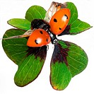 Coccinellidae / ladybirds , ladybird beetles , lady beetles , ladybugs