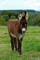 donkey - on meadow