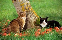 two domestic cats - on meadow between apples
