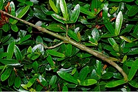 camouflage : grashopper