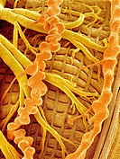 Moth´s interior  Coloured scanning electron micrograph SEM of the trachea and Malpighi tubules of a moth order Lepidoptera  Oxygen enters the tracheal...